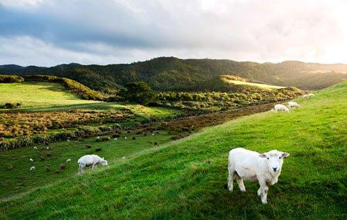 ボイセンベリーはニュージーランドが主な生産国